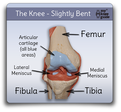 Anatomy The Function Of The Knee Is Dependent On Many Structures